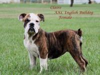 AKC English Bulldogs For Sale 20 weeks old Budget