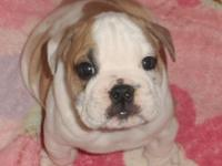 Beautiful healthy male Bulldog puppies from great