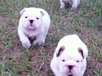 White and almost white AKC English Bulldog, Snoball is