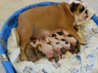 Beautiful english bulldog puppies. ..Will be red and