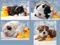 We will have 6 English Bulldog puppies for sale