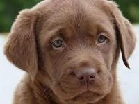 Come see our beautiful litter of chocolate lab puppies,