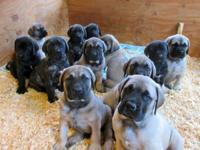 Avonlea Mastiffs is proud to offer these extraordinary