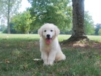 AKC reg English Cream Golden Retriever. Born May 10th.