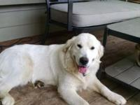 Very loving male English cream golden retriever for