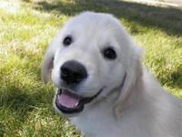 AKC English Cream Golden Retriever puppies- Ready to go