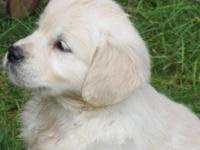Beautiful and adorable purebred Golden Retriever