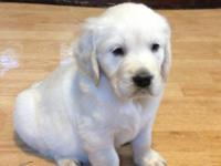 AKC English Cream Golden Retriever pups!! Multi Int.