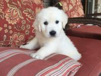 AKC English Cream Golden Retriever puppy. Male from