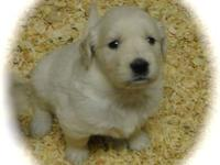 Revised 3/2/13 Golden Retriever AKC Pups - Beautiful