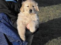 AKC 100% English Cream Golden Retrievers. These puppies