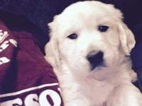 AKC English Creme Golden Retriever Puppy i have a boy
