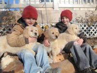 AKC golden retriever puppies from Sir Calvin and