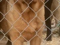 Beautiful full English fox red female. She is AKC