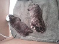 We have beautiful AKC English Bulldog puppies and