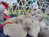 Golden Retriever,6 Male, 5Female, $1,500.00 . Mom is