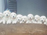 AKC FULL English White golden retriever puppies