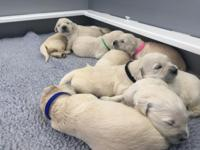 AKC English Golden Retriever litter due September 20,