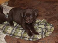 Quality AKC English lab puppies. ALL COLORS-Male and