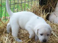 AKC Lab puppies! 6 males available(willie, godwin, si,