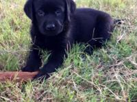 Purebred AKC Black female Lab puppy. Born 9/7/15 and
