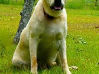 Emma is an English light yellow Labrador with a stocky