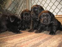 LOVELY AKC REGISTERED ENGLISH LABRADOR PUPPIES!!!!READY