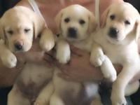 Beautiful AKC register English Labrador Retrievers