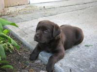 AKC CHOCOLATE LABS-CHAMPION SIRED. WE ARE A SMALL