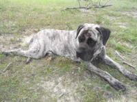 I have a Beautiful AKC Adult Female English Mastiff for