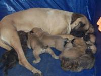 I have 1 female english mastiff still avail., (1