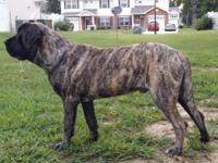 AKC English Mastiff show quality. Zeus is 8 months old