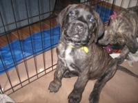 I have a gorgeous apricot brindle pup offered. She has