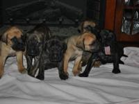 We have female Puppies! Our adult male is a black and
