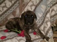 AKC English Mastiff puppy 8 weeks on Nov 28th.