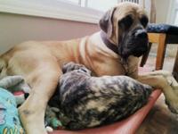For sale male Akc English Mastiff puppy Born Nov.