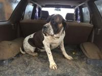 We have for sale a 2 year old pied English mastiff. She