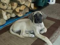 AKC English mastiff 10 weeks old, vet checked,