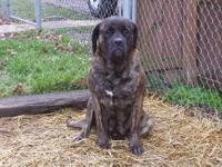 .I have a outstanding litter of AKC English Mastiff