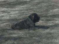 AKC English mastiff puppies due mid October. sire is