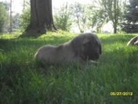 We have 10 Akc English Mastiff pups for sale. 2 females