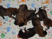 AKC English Mastiff puppies. Will be ready 8/10/12. Two