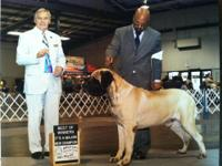 English Mastiff Puppies, SHOW POTENTIAL. AKC registered
