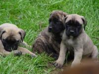 AKC English Mastiff Puppies 2 Apricot brindle 1 apricot