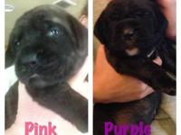AKC English Mastiff puppies born October 18. We have 3