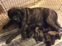 AKC signed up, English Mastiff Puppies Born 3/13/2014 1