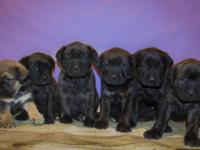 Terrific English mastiff young puppies available. We