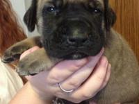 English Mastiff Puppies born on 8/11/14. There are 4