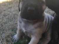 AKC English mastiff young puppies. Cost variety from