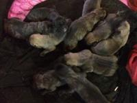 Hello we have a litter of english Mastiff puppies they